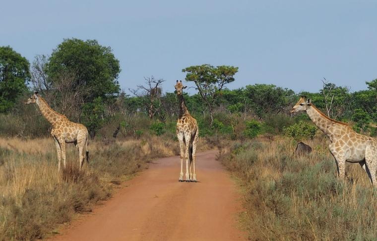 tre giraffer.jpg
