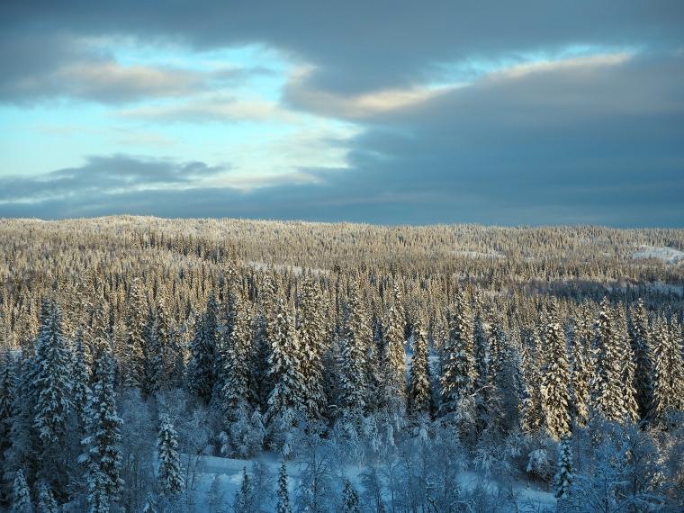 Snöbeklädd skog.