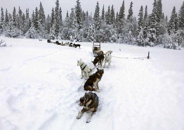 Flera hundspann i snön.