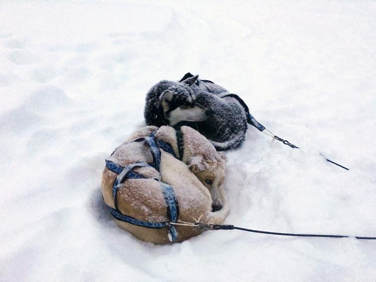 Två vilande hundar som rullat ihop sig i snön.