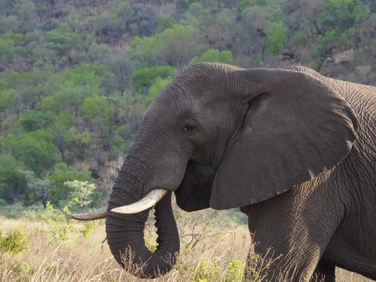 Närbild på en elefant.