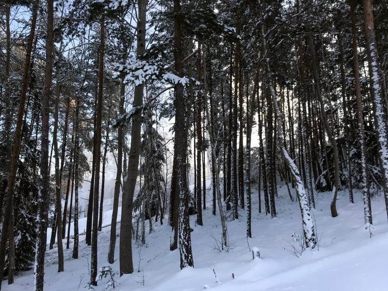 Skog med träd och snö.