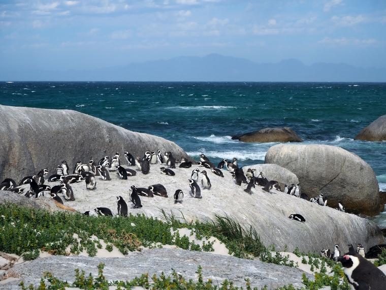 En grupp pingviner på klipporna med havet i bakgrunden.
