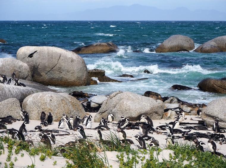 Pingviner på stranden med havet och vågor i bakgrunden.