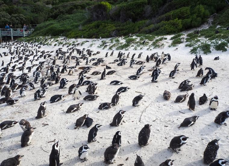 Strand full med pingviner.