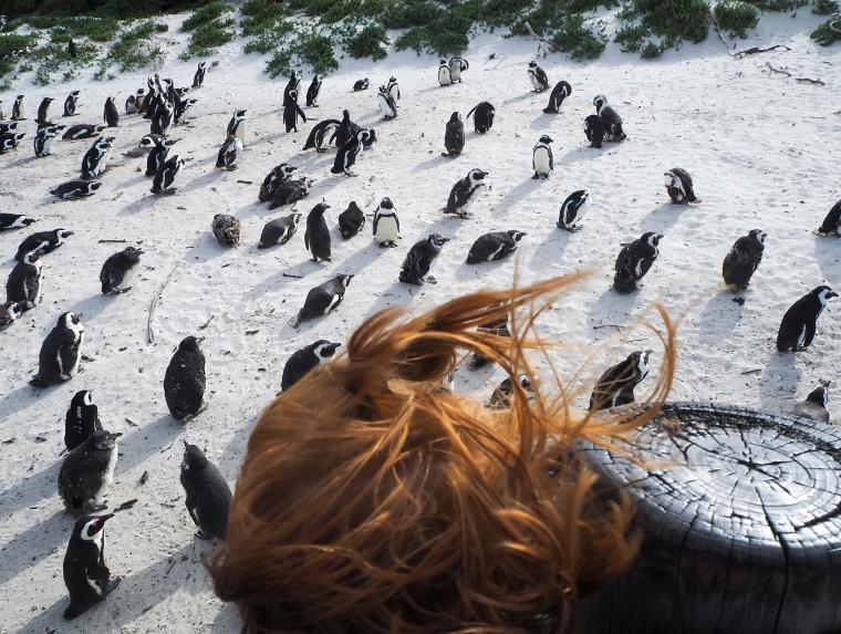Ett rödhårigt barn som tittar på pingviner på stranden.
