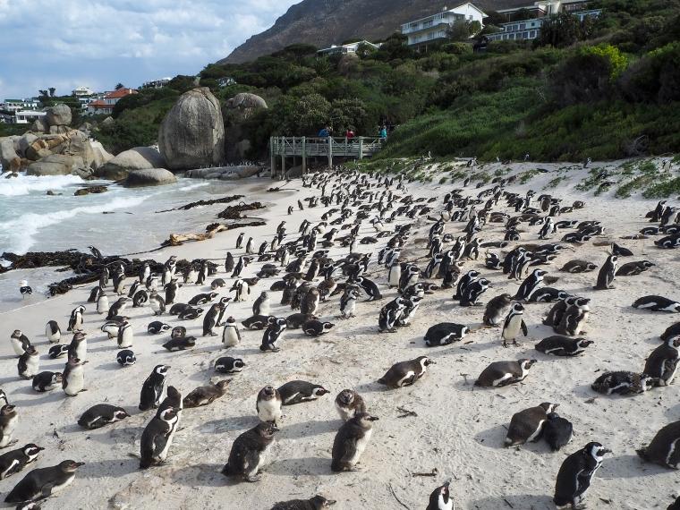 Pingviner på en strand
