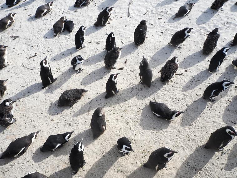 20-tal pingviner på stranden. Bild tagen uppifrån.