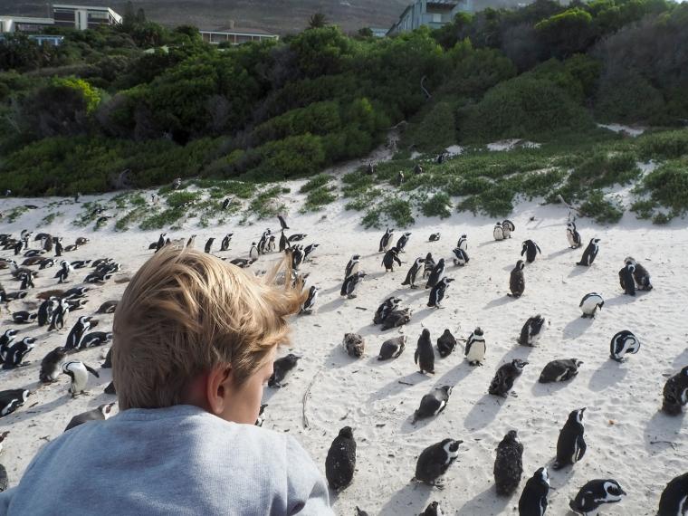 Ett barn som tittar på pingviner på stranden.