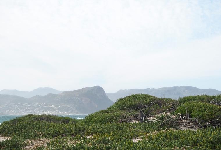 En pingvin med berg och hav i bakgrunden.