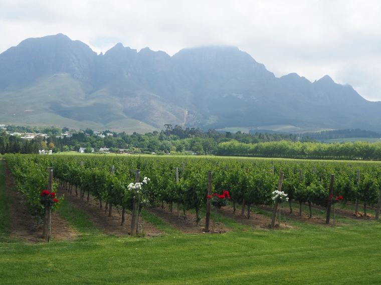 Vinodling där varje rad har en roden buske i början. Varannan röd och varannan vit. Höga berg i bakgrunden.