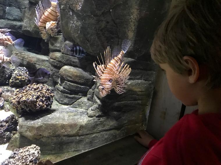 Ett barn som tittar in i ett akvarium fullt med drakfiskar.
