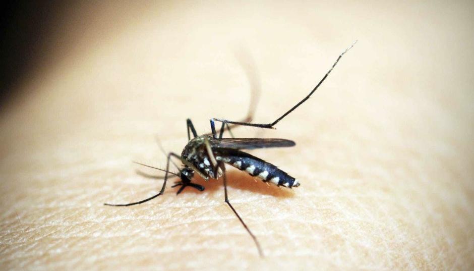 Mygga i närbild