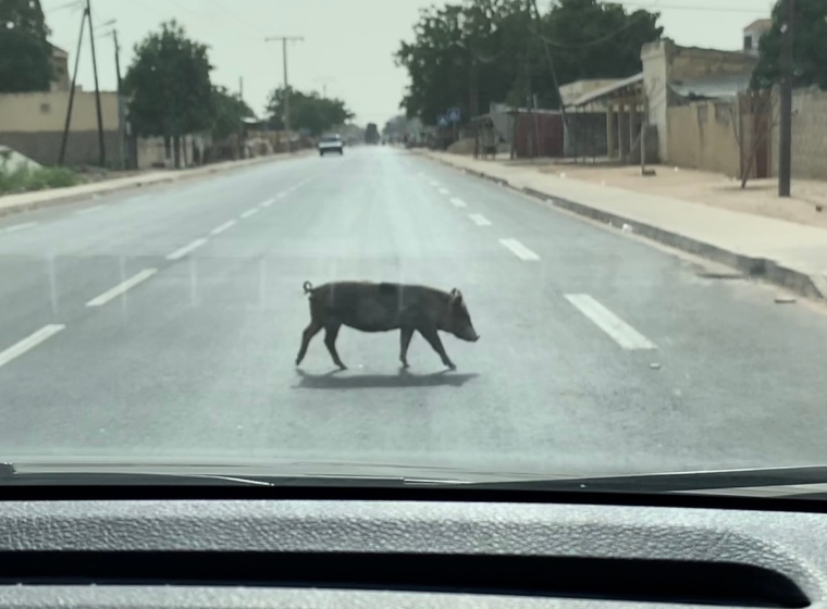 En gris passerar framför en bil.