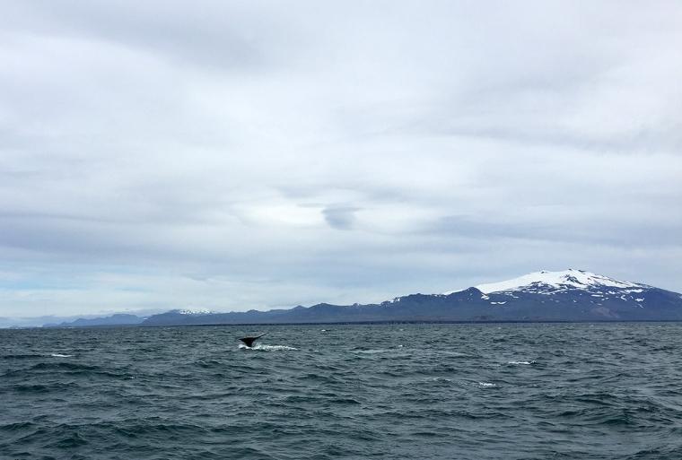 Ur havet sticker en vals stjärfena upp, snöklädda ber i bakgrunden.