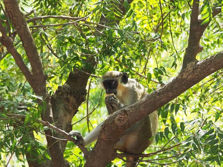 En apa som sitter i ett träd.