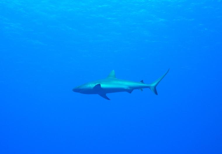 En haj i blåvatten.