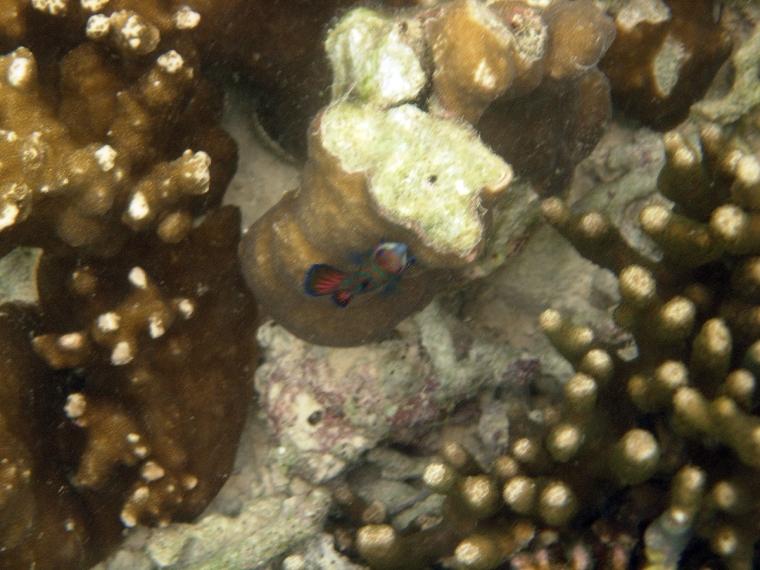 Brun korall och en liten färgglad fisk.