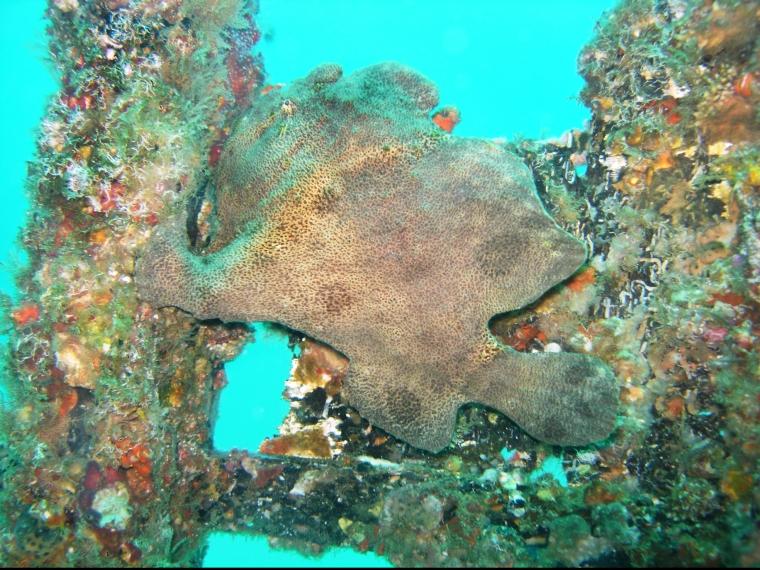 En brun knubbig fisk.