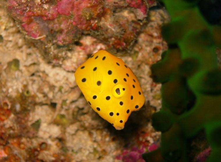 En lite gul fisk med svarta prickar.