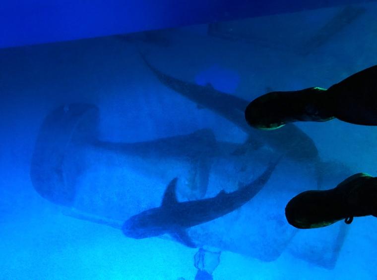 Ett glasgolv med ett akvarium under där det simmar två hajar.