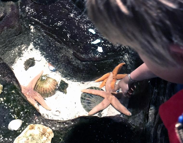 Ett barn som tittar på sjöstjärnor i ett akvarium.