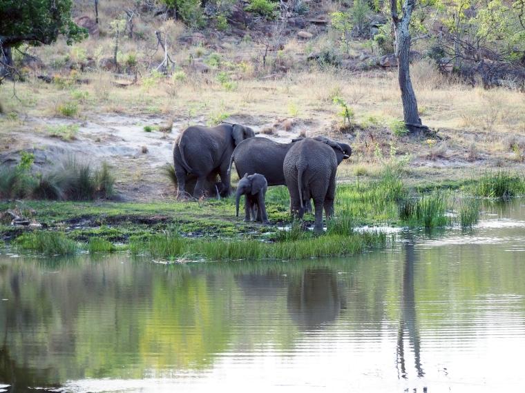 Tre vuxna elefanter och en bebiselefant vid ett vattenhål.
