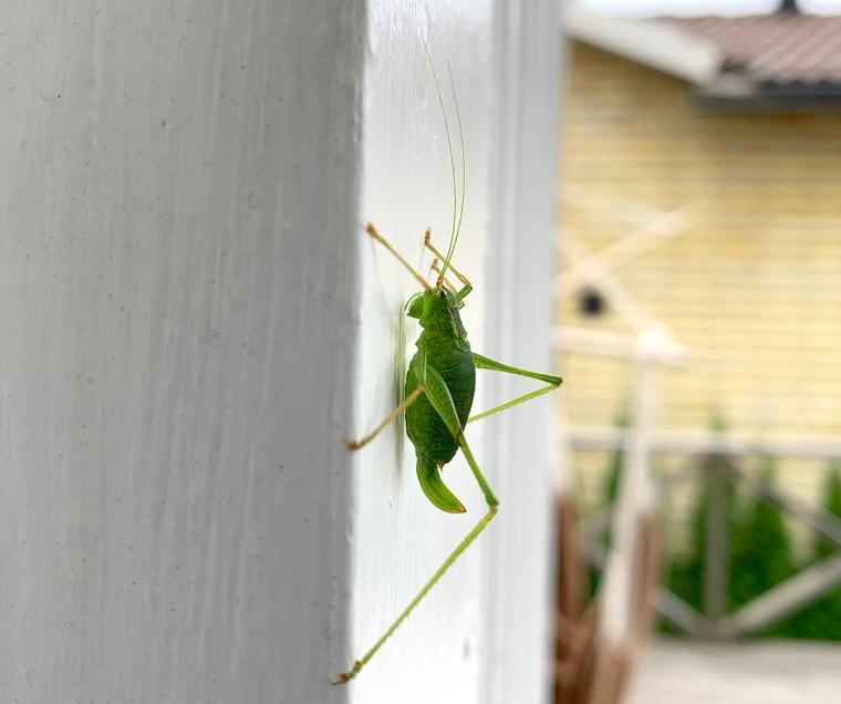 En grön gräshoppa på en vit vägg.