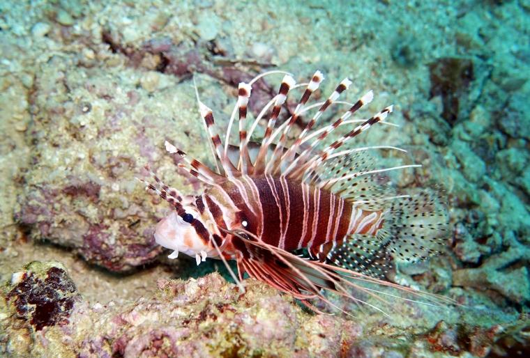 En brun och vitrandig fisk med taggar.