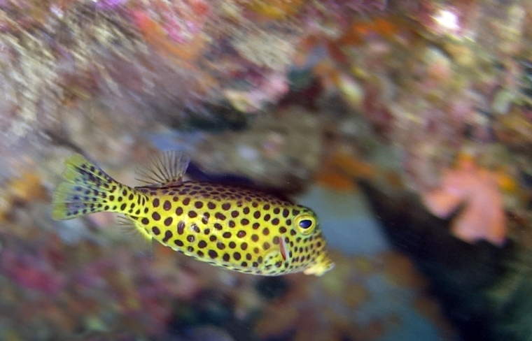 En gul fisk med svarta prickar.