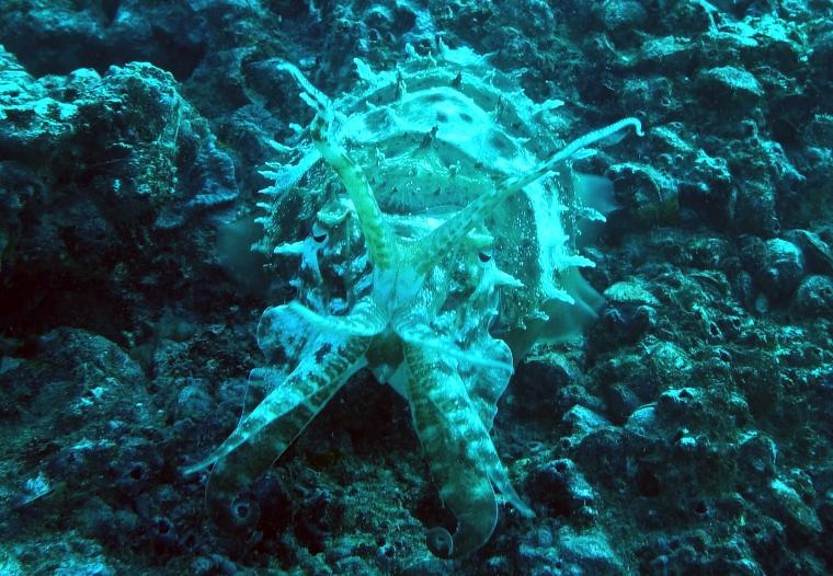 Cuttlefish framifrån