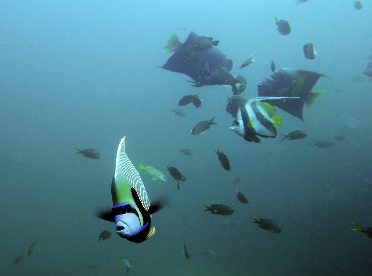 Svarta, gula, blå och vita fiskar.