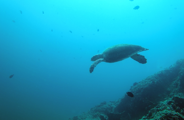 En sköldpadda simmar.