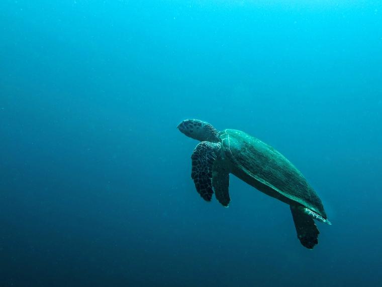 En sköldpadda simmar mot ytan.