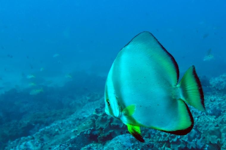 En stor, platt grå fisk med gula och svarta detaljer.
