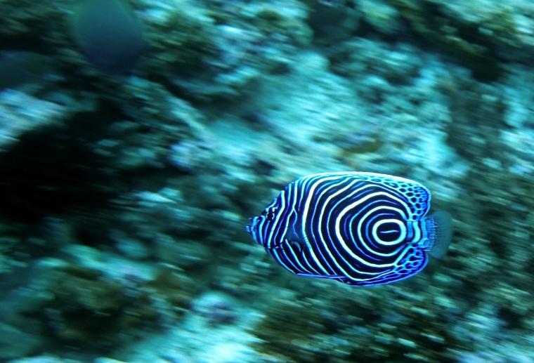 En svart fisk med gula och blå ränder.