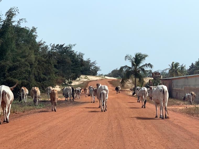 En röd grusväg med en flock vita och bruna kor.