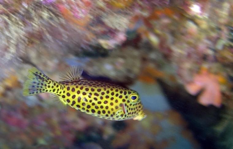 En gul kantig fisk med svarta prickar.