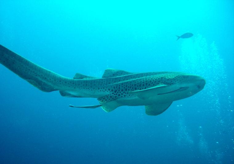 En gul haj med svarta fläckar som simmar i blått hav.