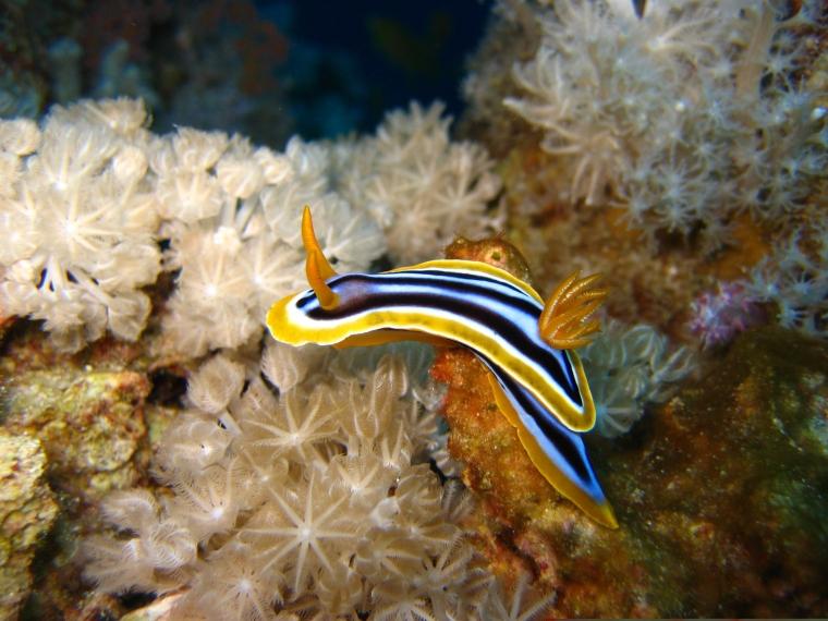 En snäcka utan skal som är organge, gul, svart, blå och vit.
