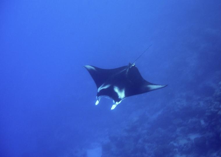 En stor manta mitt i blått hav.