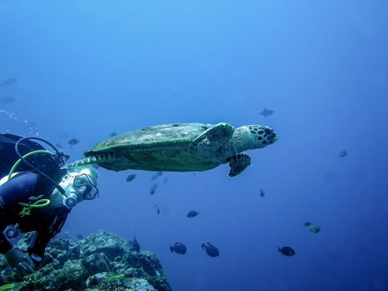 En grön havssköldpadda simmar med en dykare bredvid sig.