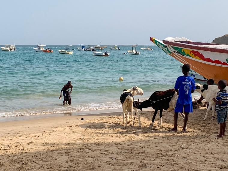 Tre getter på stranden och en get i vattnet som blir skrubbad av en unge kille.