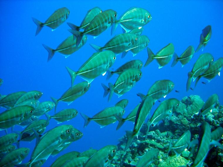 Tonfisk under dykning i Palau.