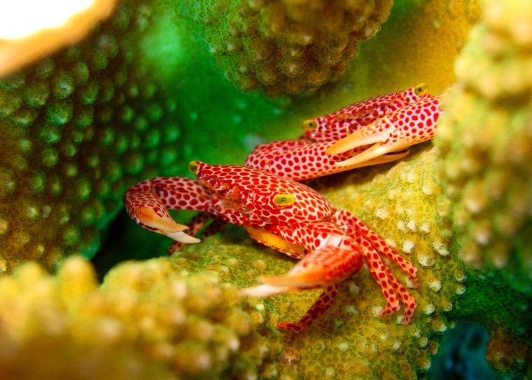 Två krabbor, vita med röda prickar och gula ögon under dykning i Palau.
