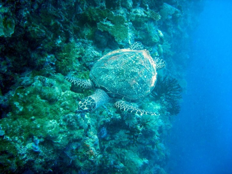 Sköldpadda under dykning i Palau.