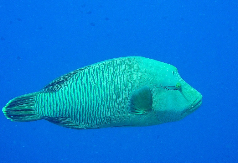 Napoleonfisk under dykning i Palau.