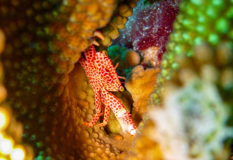 Porslinskrabba under dykning i Palau.