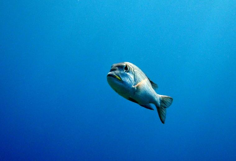 Grå fisk under dykning i Palau.