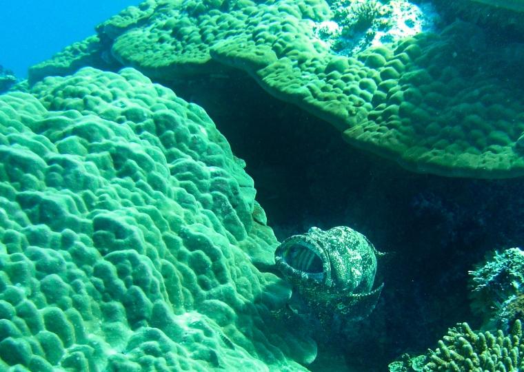 Fisk med stora tänder under dykning i Palau.